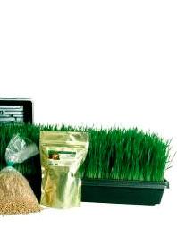 hierba detrigo Wheatgrass, hierba o germinado de trigo: antioxidante, desintoxicante y alcalinizante.