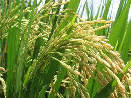 arroz2
