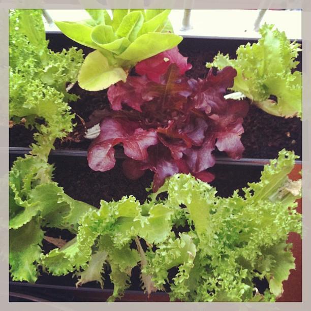 ¿A qué mis verduras han crecido mucho?
