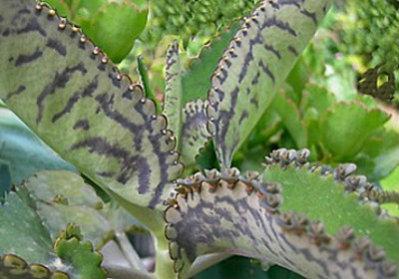 Kalanchoe una planta medicinal y terap utica en ayurveda for Kalanchoe cura
